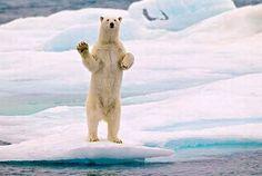 E este urso polar dando tchau. | 32 animais que pensam que são pessoas