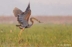 Purple Heron with a snake