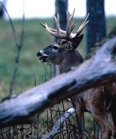 Whitetail Deer Bowhunting | Big Game Hunt