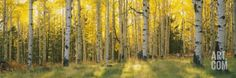 Aspen Trees in Coconino National Forest, Arizona, USA Photographic Print by Panoramic Images at Art.com