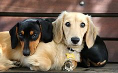Pals.  I've never seen a blonde dachshund before!