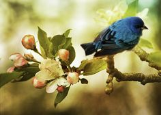 Natures composite, a bright blue indigo bunting on an apple blossom limb.