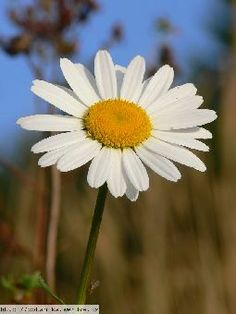 Kopretina Bílá (Leucanthemum Vulgare) Flora, Daisy, Pastel, Drawings, Garden, Plants, Cake, Garten, Margarita Flower