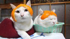 Orange peel wigs for kitties. Cats Wearing Mandarin Orange Helmets. Cat hats. Stuff on my cat.
