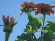 Tithonia, my favorite annual of last summer's garden, Arcadian blend
