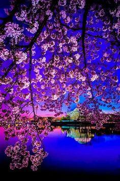 Cherry Blossom Dawn, Sakura, Japan #PhotographySerendipity #TravelSerendipity #travel #photography Travel and Photography from around the world.