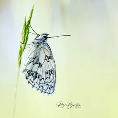 Het rijtje van Boeksz is vandaag samengesteld door Rogier Broertjes van @rogierbroertjes_photography ... dit Dambordje heb ik in de Virion… Moth, Insects, Animals, Animales, Animaux, Animais, Animal