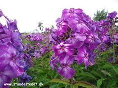 Phlox paniculata 'Purple Kiss' - Floks