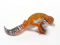 tangerine leopard gecko, hope to hatch one of these