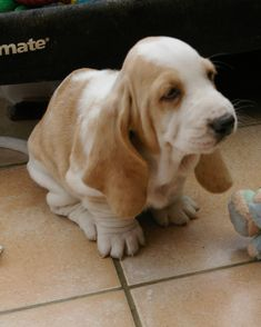 If like us, you love Basset Hounds, visit our Etsy store and look at our range of personalised Basset Hound gifts. We have original designs, based on the dogs we have owned and loved. Basset Puppies, Hound Puppies, Basset Hound Puppy, Baby Puppies, Boxer Dogs, Cute Puppies, Cute Dogs, Dogs And Puppies, Doggies