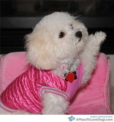 Anni, Bichon Frise/Shih Tzu. The absolute cutest and smartest dogs♥♥♥♥♥♥