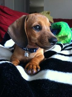 Adorable dachshund puppy, Scooby