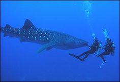 Eels, Fans, Schools of fish, Whale Shark- Photographs of Belize Scuba Diving