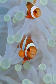 Anemonefish pair by Jaw's Dad on Flickr