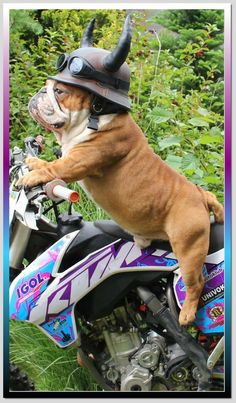 English bulldog on a motorcycle