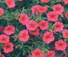 Million+Bells®+Trailing+Pink+-+Calibrachoa+hybrid Million Bells, Outside Plants, Pink Plant, English Country Gardens, Flower Bird, Hanging Baskets, Petunias, Proven Winners, Garden Inspiration