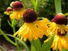 Any species or cultivar of Helenium would be good. Flowering Plants Names, Tall Plants, Shade Plants, Flowers Nature, Fall Flowers, Flowers Perennials, Planting Flowers, Agapanthus Blue, Autumn Garden
