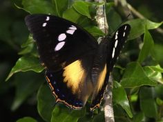 Charaxes xiphares (Forest king emperor)