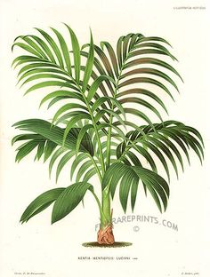 Antique print: picture of Kentia Palm - Kentia (Kentiopsis ) luciani (double size print, with fold)