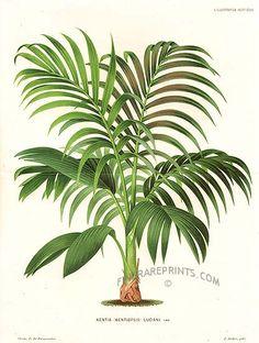 Kentia Palm - Kentia ( Kentiopsis ) luciani - New Caledonia