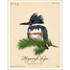 Archival print of the illustration of the Belted Kingfisher ornithology print style