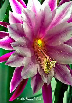 ~~Cactus Bloom by Wayne T. Fisk~~