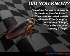 Did you know that one of the fastest land insects is the American Cockroach? They have recorded speeds of up to 50 body lengths per second! (3.4mph) That's like a human running 210 miles per hour! #roaches #facts #interesting