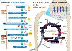 oxidation reaction human body | chemistry58 - Metabolic Processes In Our Bodies Rely on Redox Reaction