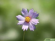 3 Ways to Grow Cosmos Flowers - wikiHow Easiest Flowers To Grow, Cosmos Flowers, Growing Seeds, South America, Plants, Plant, Planets