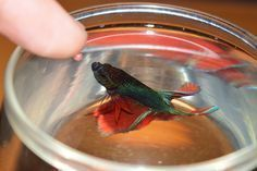 How to Teach Your Betta to Jump. Betta fish are very smart fish and can learn all kinds of tricks, such as jumping out of the water. In the wild, betta fish often jump out of the water for food, such as mosquitoes. Saltwater Aquarium, Freshwater Aquarium, Aquarium Fish, Aquarium Ideas, Colorful Fish, Tropical Fish, Betta Fish Care, Betta Tank, Fishing For Beginners
