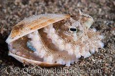 Octopus hiding in a Bivalve Seashell