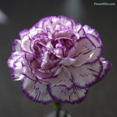 Carnation Flower | FlowersFlower.