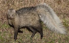 White-tailed Mongoose.   This species is a bit longer in the leg than some of its cousins.   This one is on full alert and the bushed up tail and body language tell us that it is very aware wildlife photographer Warick Taraboton has his lens trained on him..