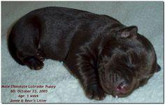 Black labrador puppies newborn - Labrador Retriever
