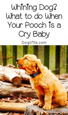 Got a whining dog that's driving you bonkers? Find out what, if anything, you can do when your pooch is kind of a cry baby!