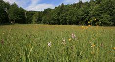 Auf sumpfigen Pfeifengraswiesen wachsen auch seltene Orchideenarten.