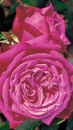 Senteur Royale®. Een bossig opgaande, compact groeiende theehybride met zeer grote dichtgevulde purperviolet kleurige bloemen met een weldadige intensieve rozengeur. De plant is zeer robuust met glanzend gezond blad.
