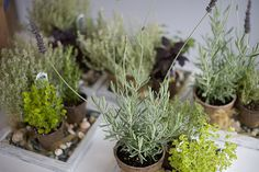 Potted Herb Centerpiece by MelanieWedding, via Flickr (we could do something similar to this with a terracotta tray filled with pebbles, and tuck in the mini potted herbs)