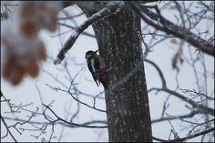 Picchio testa rossa (Melanerpes spp.) e la quercia, via Flickr.