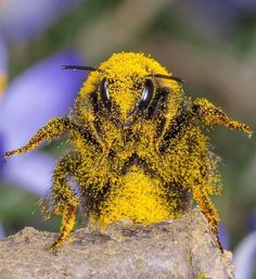 Bee Covered in Pollen. Bee Covered in Pollen. Beautiful Creatures, Animals Beautiful, Cute Animals, Foto Macro, Buzzy Bee, I Love Bees, Bees And Wasps, Fotografia Macro, Bee Art