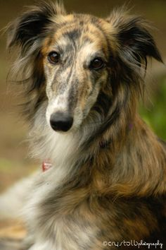 Silken Windhound, Springlane's Flying Vixen