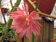 """Epiphyllum """"Pink Plumes"""""""