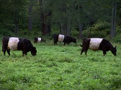 These are Belted Galloways and are known for their beef production. aka Oreo Cows