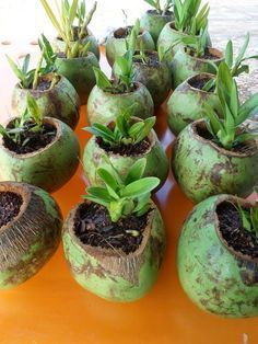 Beautiful Coconut Planters: An Exotic Decor For Balconies - Unique Balcony & Garden Decoration and Easy DIY Ideas Garden Crafts, Garden Projects, Garden Art, Garden Design, Orchids Garden, Orchid Plants, House Plants Decor, Plant Decor, Bottle Garden