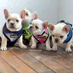 """batpigandme: """"📷 by @frenchie_bell 😀 DoubleTap & Tag a Friend Below⤵ by thefrenchielove http://ift.tt/1q6AxFO """""""