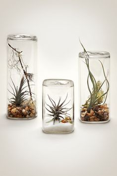 Image of Classic Aerium from Pistils Nursery for air plants