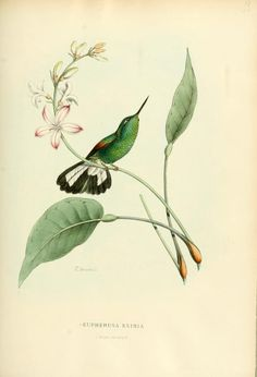 Stripe-tailed Hummingbird - high resolution image from old book. Vintage Birds, Vintage Flowers, Vintage Art, Botanical Drawings, Botanical Prints, Vintage Bird Illustration, Flower Dance, Charles Darwin, Nature Plants