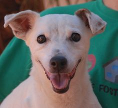 Lucille, admirably young at heart at 14, adores hugs and kisses and kids.  She is a Jack Russell Terrier, spayed, good with most dogs, and debuting for adoption today at Nevada SPCA (www.nevadaspca.org).  Lucille was at another shelter that asked for our help.  Please share her picture and help find her a wonderful home.