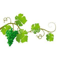 Green grape vine vector by setfeye - Image #644102 - VectorStock