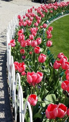 Tulips in Tivoli May 2016 Tivoli Gardens, Copenhagen, Danish, Tulips, Plants, Danish Pastries, Tulip, Flora, Plant